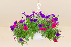 Basket with dark petunia on hook Royalty Free Stock Photography