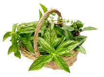Basket different varieties of basil Royalty Free Stock Images