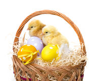 A basket with easter eggs and chickens Stock Images