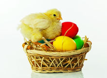 Basket with the Easter eggs and small chicken Royalty Free Stock Photo