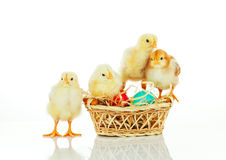 Basket with the Easter eggs and small chickens Royalty Free Stock Image