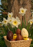 Basket Eastern Eggs in garden. Basket with Chocolate Easter Eggs and Narcissus in garden Royalty Free Stock Photo