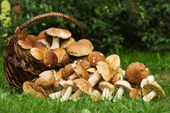 Basket with edible mushrooms. Royalty Free Stock Photo