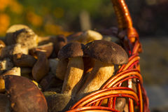 Basket with edible mushrooms Stock Image