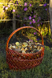 Basket with edible mushrooms Royalty Free Stock Photos
