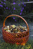 Basket with edible mushrooms Royalty Free Stock Photography