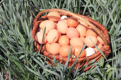 Basket of eggs. In the green grass Royalty Free Stock Photography