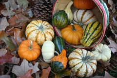 Basket of Fall Produce. Basket overturned with gourds spilling out Royalty Free Stock Photos