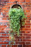 A bamboo basket filled with green plants hanging on a red brick wall. In the image, it is a basket filled with green plants hanging on a red brick wall Stock Photography