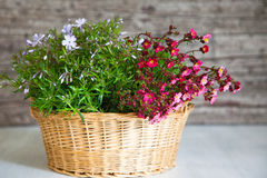 Basket Filled with Pink and White Flowers. Still Life of Small Woven Basket Filled with Small Pink and White Flowers with Rustic Wooden Background Stock Photography
