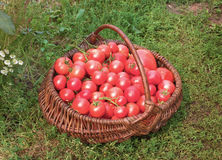 Basket filled with tomatoes Stock Images