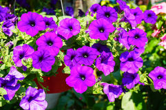Basket filled with vibrant multicolored petunias Royalty Free Stock Photography
