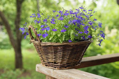 Basket with flowers. In a garden Royalty Free Stock Image