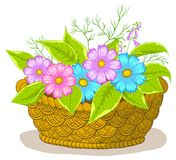 Basket with flowers cosmos Stock Image