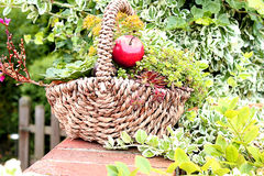 A basket of flowers. For garden decoration Royalty Free Stock Image