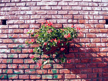 Basket flowers hanging on a brickwall. Stock Image