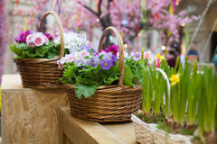 Basket with flowers home flowers spring. Summer royalty free stock images