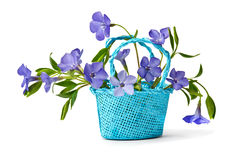Basket with flowers periwinkles Royalty Free Stock Photo