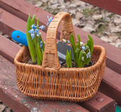 Basket with flowers Scilla Scilla siberica Royalty Free Stock Photography