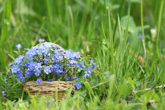 Basket of forget-me-not flowers. Basket of wild spring flowers of forget-me-not stock image