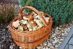 Basket of fresh autumn mushroom Stock Photos