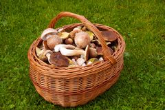 Basket of fresh autumn mushroom Stock Photo