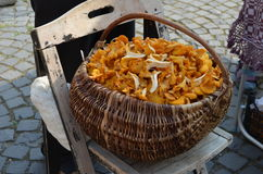 Basket of fresh chanterelle. A basket of fresh chanterelle mushrooms, on a vintage chair, in a traditional market, in Sibiu (Transylvania), from a local farm Stock Images