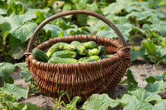 Basket with fresh cucumbers Stock Photo