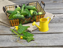 Basket fresh cucumbers and yellow  watering can Stock Images