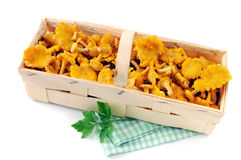 Basket with fresh golden chanterelles on white isolated backgrou. Nd. twig of parsley Stock Photography