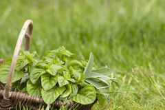 Basket with fresh herbs Royalty Free Stock Photo