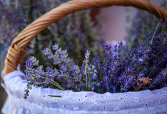 Basket with a fresh lavender Stock Photo