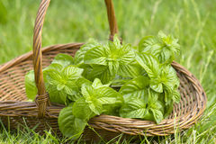 Basket with fresh mint Stock Photography