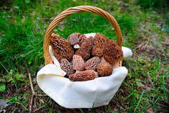Basket Of fresh Morel Mushrooms. Morel mushrooms in a basket fresh picked from the  surrounding forest in the springtime Royalty Free Stock Images