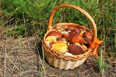 Basket of fresh mushrooms picked in forest Royalty Free Stock Photos
