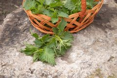 A basket of fresh nettle on a stone, gray background. Beautiful spring young nettle stock photography