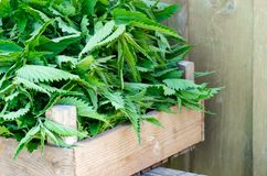 A basket of fresh nettles in a wooden box. Nettle leaf with copy space. Horizontal stock image