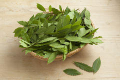 Basket with fresh picked bay leaves Royalty Free Stock Photography