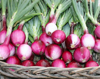 Basket of Fresh Picked Red Onions Royalty Free Stock Photos