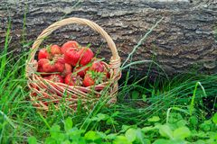 Basket with fresh picked red ripe strawberries on green grass. With trunk of fallen tree in the background Stock Image