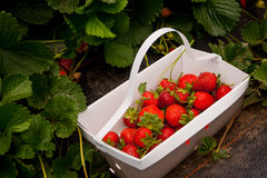 Basket of Fresh Picked Strawberries Royalty Free Stock Images