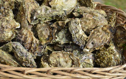 Basket of  fresh, raw oysters. A basket of fresh, raw oysters cultivated off the coast Cortes Island in British Columbia Royalty Free Stock Photography