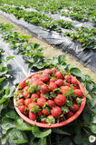 A basket of fresh red strawberries Stock Images