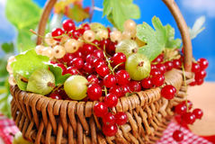 Basket of fresh red,white currant and gooseberry Stock Photography