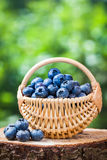 Basket with fresh ripe blueberries in forest. Royalty Free Stock Images