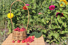 Basket with fresh ripe raspberries standing on a table. In a garden Royalty Free Stock Image