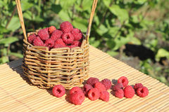 Basket with fresh ripe raspberries standing on a table. In a garden Stock Image