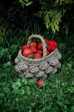 Basket of fresh strawberries on a background of a green garden and tree branches Stock Image
