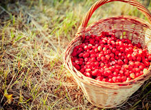 Basket of fresh strawberries Royalty Free Stock Photos