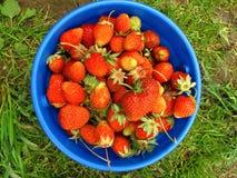 Basket of fresh strawberries Stock Photos